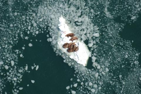 Walrus cows resting on sea ice