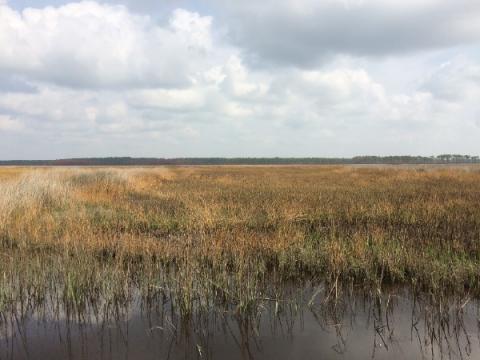 Estuarine tidal marsh