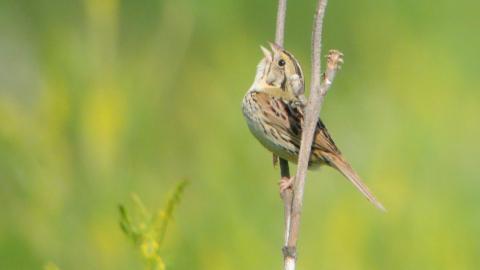 image of Henslow's sparrow