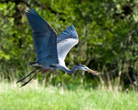 image of Great Blue Heron