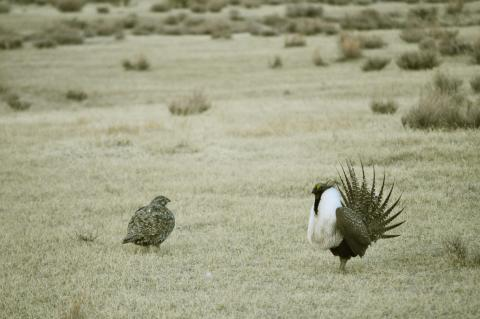 Male greater sage-grouse struts for female at lek (dancing or mating grounds)