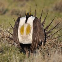 Male greater sage grouse photo
